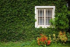 Windows и стены предусматриваны с взглядом плюща элегантным и классическим Стоковая Фотография RF