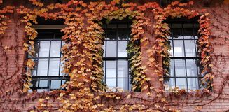 Windows covered with Fall ivy. Three windows covered with colorful ivy in fall royalty free stock image