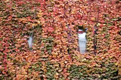 Windows covered with Fall ivy. Two windows covered with colorful ivy in fall royalty free stock photography