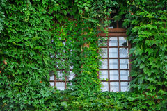 Windows covered by green ivy Stock Image