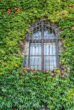 Windows covered with ivy Stock Photography