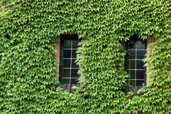 Windows deckte mit Grün ab Stockfotos