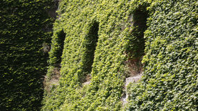 Windows en una pared de la hiedra Foto de archivo