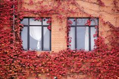 Windows with Fall ivy. Two windows with colorful ivy in fall royalty free stock photography