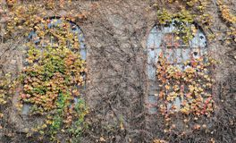Windows with Fall ivy royalty free stock images