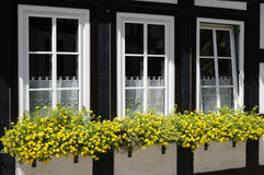 Windows with flower boxes. Three windows decorated with flower boxes, Callie Gold with Red Eye Royalty Free Stock Photo