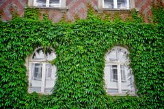 Windows with green ivy Stock Images