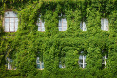 Windows on home wall covered with leaves Stock Images
