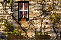 Windows I. Brick wall with vines and window in Bruges, Belgium Royalty Free Stock Photos