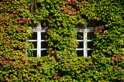 Windows in the ivy Royalty Free Stock Photography