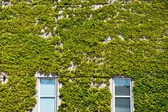 Windows and ivy Stock Photo