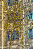 Windows of a multistory building, and yellow birch leaves Royalty Free Stock Images