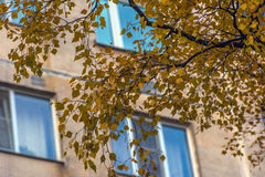 Windows of a multistory building, and yellow birch leaves Royalty Free Stock Photos