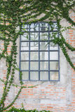 Windows sur le mur qui est couvert de lierre images libres de droits