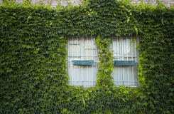Windows surrounded by creeper Stock Images