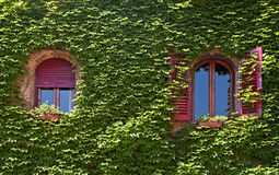 Windows surrounded by creeping ivy plants Royalty Free Stock Image