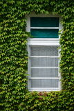 Windows surrounded by green ivy Royalty Free Stock Image