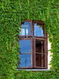 Windows surrounded by green ivy Royalty Free Stock Photography