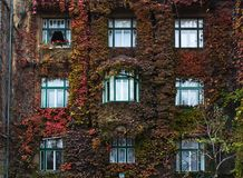 Windows surrounded by ivy. House decorated by climbing vines Royalty Free Stock Images