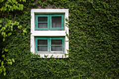 Windows und Wände werden mit dem eleganten und klassischen Efeublick bedeckt Stockfotos