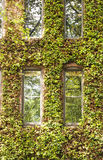 Windows in Vine Covered Building Stock Image
