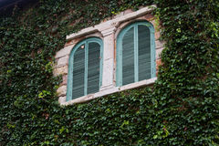 Windows on a wall covered with Ivy Stock Image