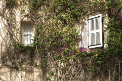 Windows and wall with ivy Royalty Free Stock Photo