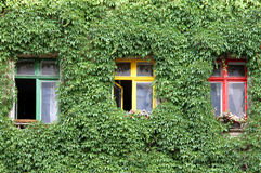 Windows in the wall with ivy Royalty Free Stock Images