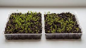 Ростки салата растут внутри помещения на windowsill-изображении стоковые изображения