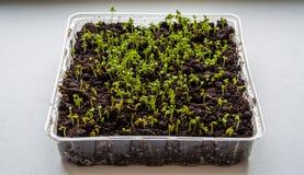 Ростки салата растут внутри помещения на windowsill-изображении стоковое изображение