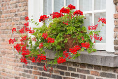 Windowsill with red flowering Pelargonium plants in pots Stock Photography