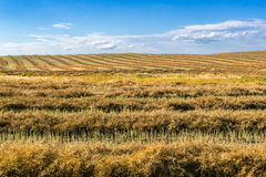 Windrow of canola Stock Photo