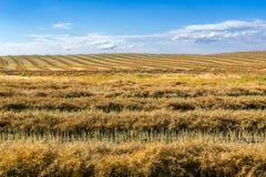 Windrow of canola. Canola field windrows and blue sky stock photo