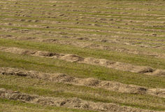 Windrow hay field Stock Photo