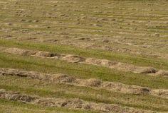 Windrow hay field stock photo