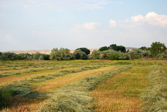 Windrows. Hayfield with grass in windrows ready for baling Royalty Free Stock Images