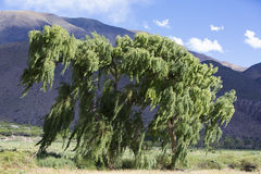 Winds blowing green tree with Andean mountain, Argentina. Strong winds blowing a massive green tree with Andean mountain and blue sky in the background. Jujuy Stock Images