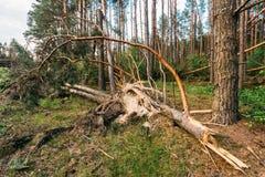 Windschlag im Waldsturmschaden Lizenzfreies Stockfoto