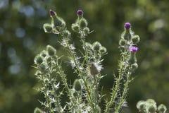 Windsor, NA Kanada flory łopianu korzeniu Burrs Purpurowych kwiaty obraz royalty free