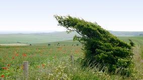 Windswept Baum auf den Südabstiegen mit wilden Mohnblumen im Hintergrund lizenzfreie stockfotos
