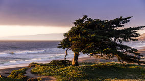 Windswept cypress tree along the northern California coast Stock Image