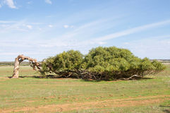 Windswept. The windswept eucalyptus tree of Greenough with bent trunk in the Greenough Flats landscape under a blue sky in Western Australia stock photography