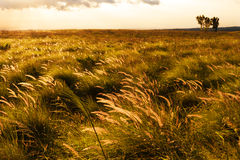Windswept Golden Grass Big Island, Hawaii Royalty Free Stock Photos