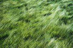 Windswept Grass Royalty Free Stock Image