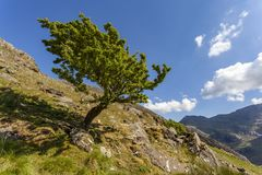 Windswept Hawthorn Tree. A windswept Hawthorn tree stands on the slopes of the Glyderau, Snowdonia. Crib Goch on Snowdon can be seen in the background royalty free stock photos