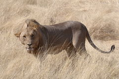 A windswept male Lion standing in grassland in Etosha. A windswept male Lion (Panthera leo) standing in grassland in Etosha national Park, Nambia stock photos