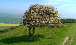 Windswept May Tree. On the Woodingdean to Lewes trail Royalty Free Stock Photos