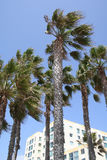 Windswept Palmen mit blauem Himmel Stockfotografie