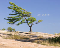 Windswept pine tree. Windswept tree stands strong on rocks in northern ontario stock image