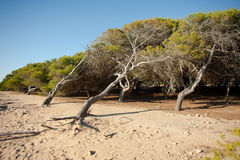 Windswept pine trees. Windswept pine tree forest on sandy ground Royalty Free Stock Images